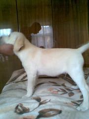 Продаётся красивая и умная девочка- щенок лабрадора-ретривера