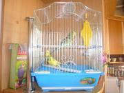 Продаю пару волнистых попугаев с кле