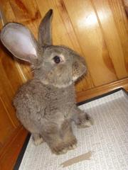 Продаю племенных кролико