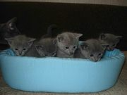 Продаются котята очень редкой породы «русская голубая»