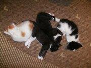 Подарю котят от домашней трехцветной пушистой кошки в Пензе