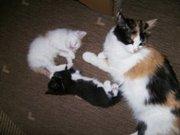 Отдадим котят от домашней кошки в Пензе